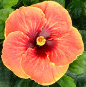 Cajun Sunset hibiscus