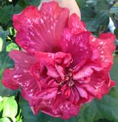 Bold Idea hibiscus