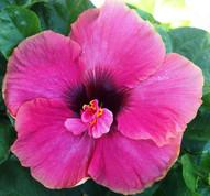 Delta Rose hibiscus