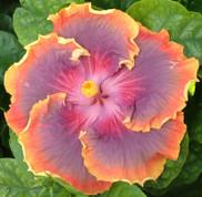 Night Runner hibiscus