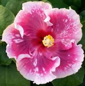Zydeco Hibiscus