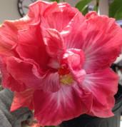 Rum Rascal hibiscus