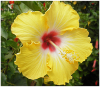 Battle Ship California hibiscus
