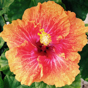 Golden Gate hibiscus