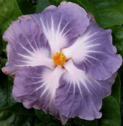 Blackberry Jam hibiscus