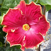 Curly Top hibiscus