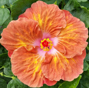 Caramel Dawn hibiscus
