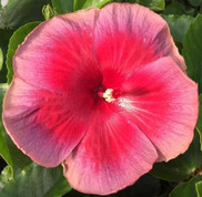Tahitian Miss. Teenager hibiscus