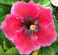 Hotsy Totsy hibiscus