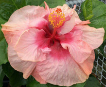 Peach Cascade hibiscus