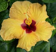 Yellow Bird hibiscus