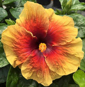 Gypsy Rom hibiscus