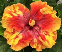 Maui Artist hibiscus