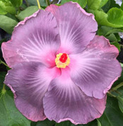 Twilight hibiscus