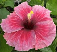 Vin Electrique hibiscus
