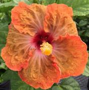 Tahitian Slow Burn hibiscus