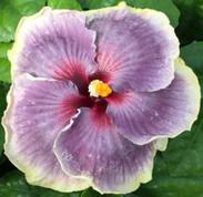 Tahitian Taui hibiscus