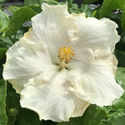 Byron Metts hibiscus
