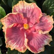 Lilita hibiscus