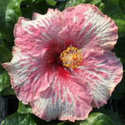 Think Pink hibiscus