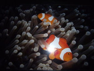 UNDERWATER PHOTOGRAPHY TWO CLOWNFISH SIPADAN BORNEO LONDON FRAMED PHOTO
