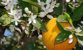 Neroli - 3% in Jojoba Oil