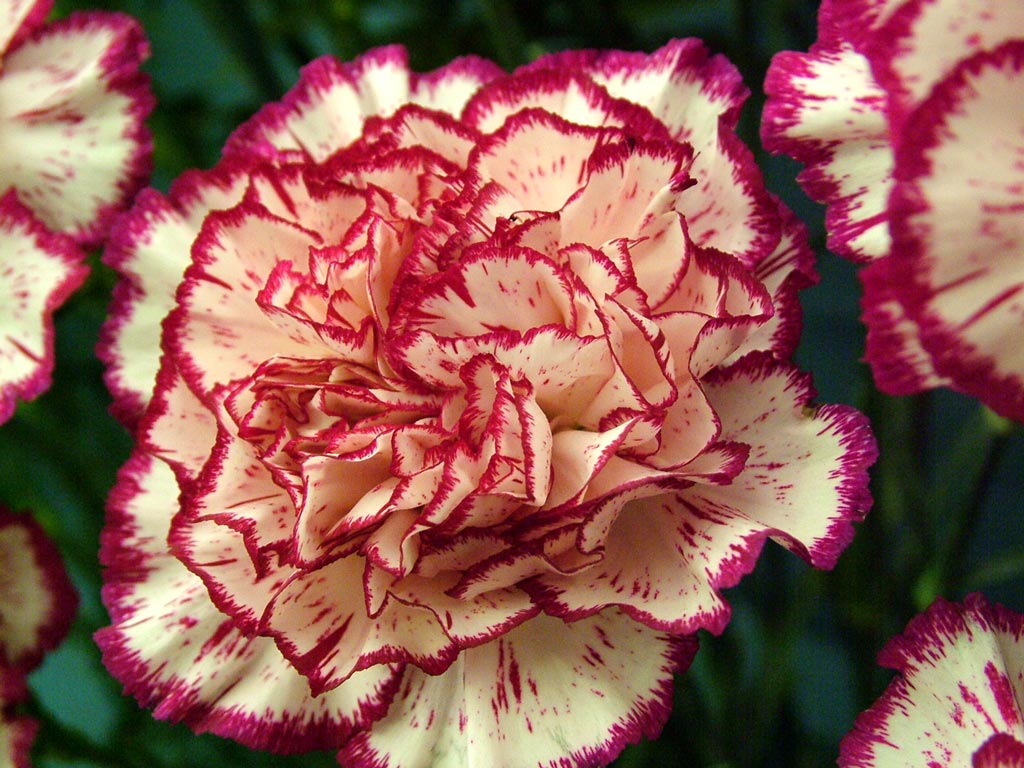 January Birth Flower Click me to shop carnations