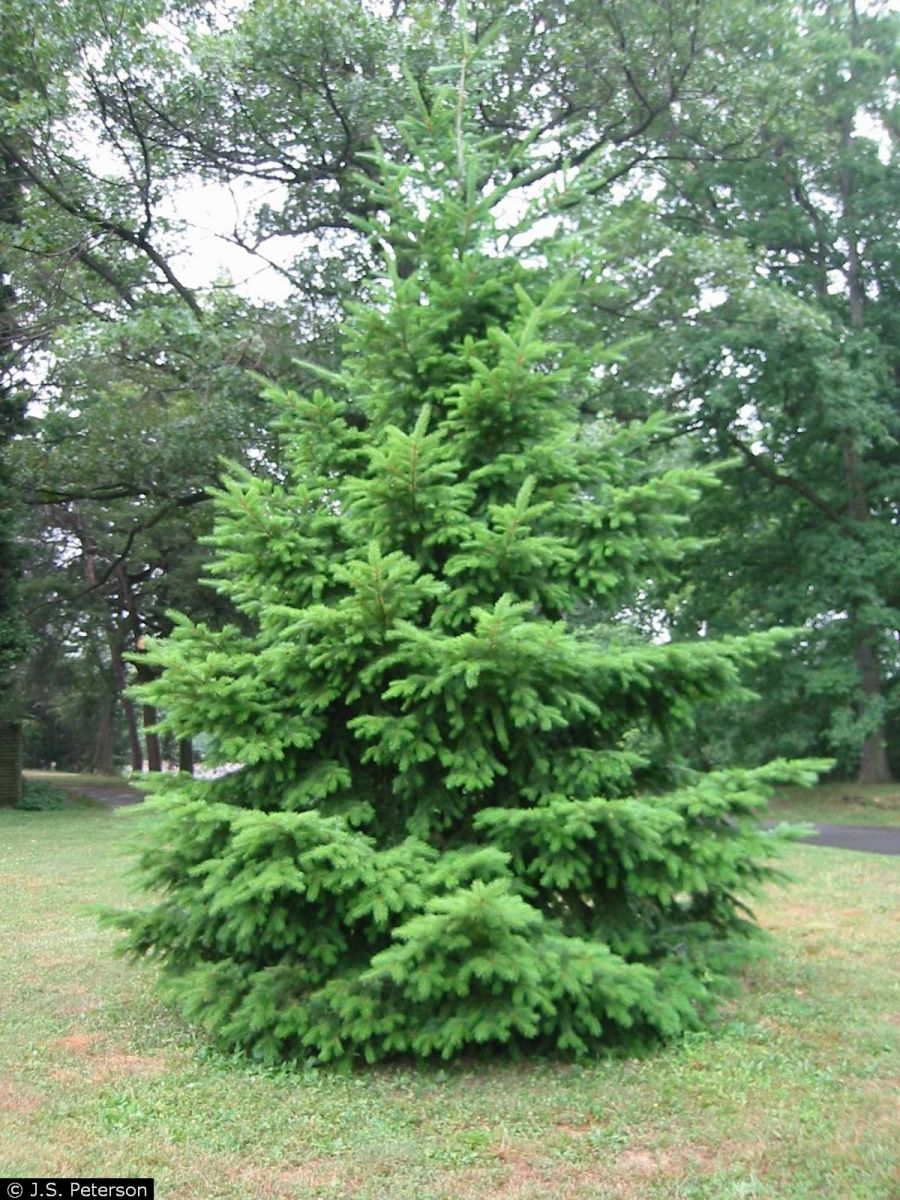 douglas-fir-young-1a.jpg