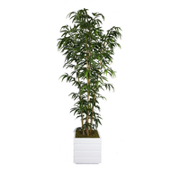 Bamboo Tree in White Planter