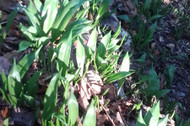 WIld garlic growing in woodland