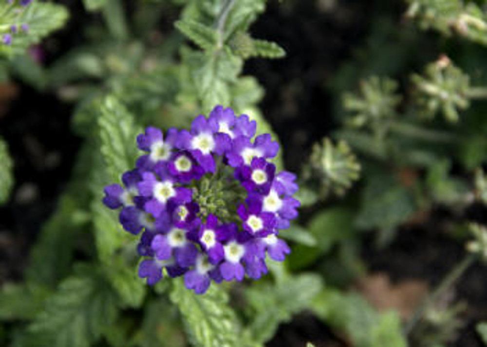 Verbena 'Pops Dark Violet'