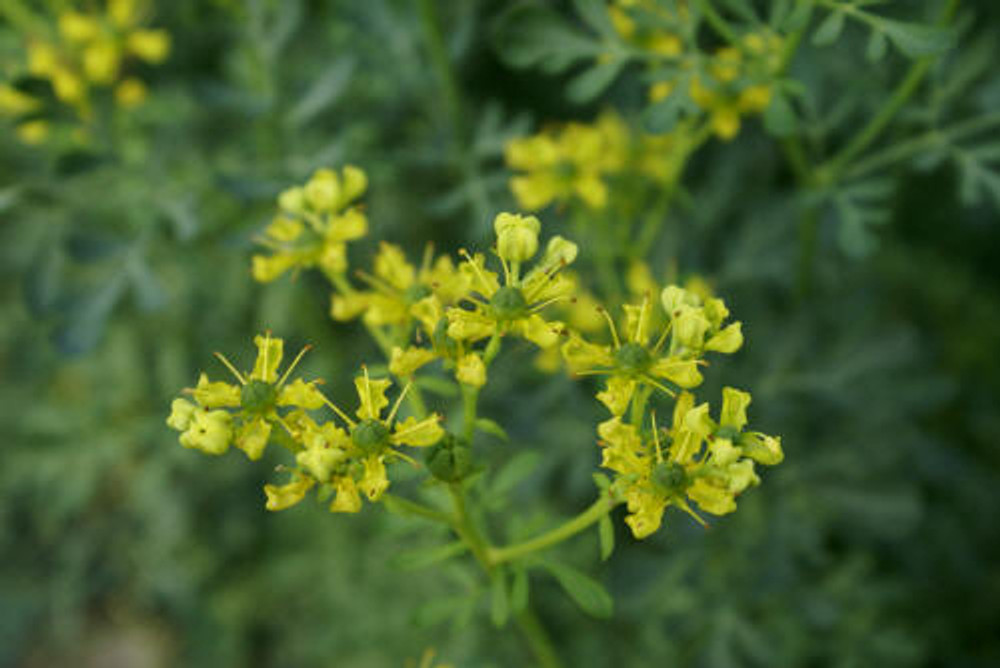Rue herb plant and flowers.