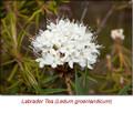 Ledum (Labrador Tea) Organic