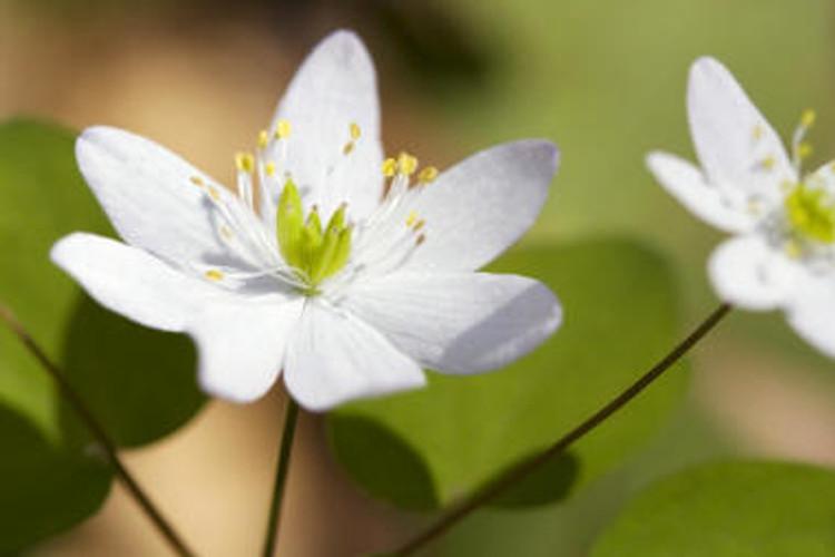 Rue Anemone blossom