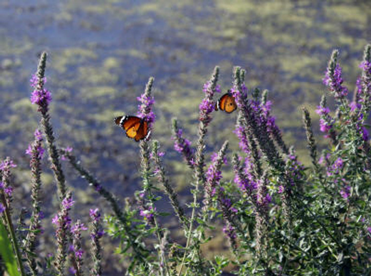 Two butterflies sit on a bush of blossoming rosemary Verbena