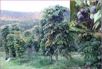 Davidson's Plum Orchard