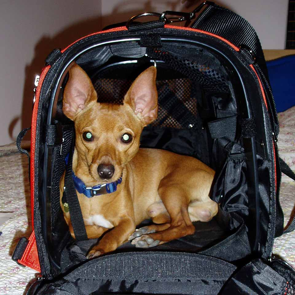 Chie A muscular Miniture Pinscher taking Celltei Backpack as his cage
