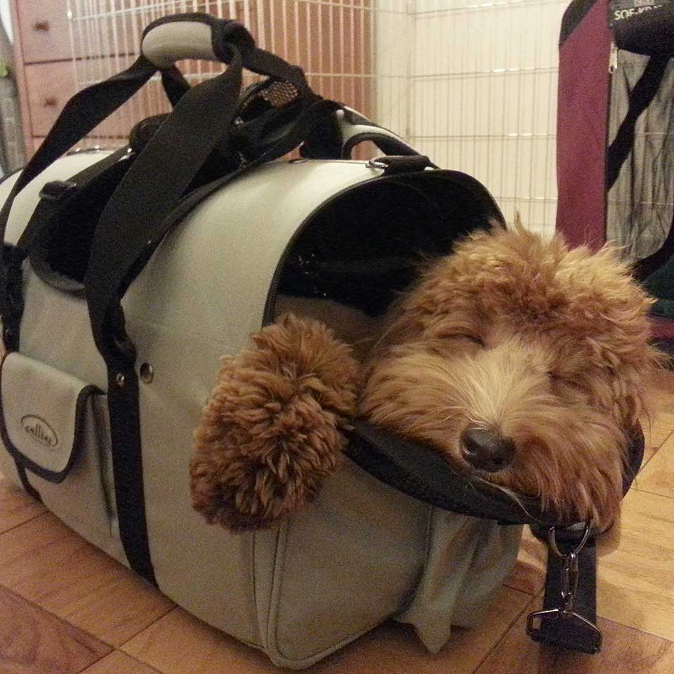 Wheaton Terrier Moe is taking a lap inside a Large size Celltei Dog Backpack
