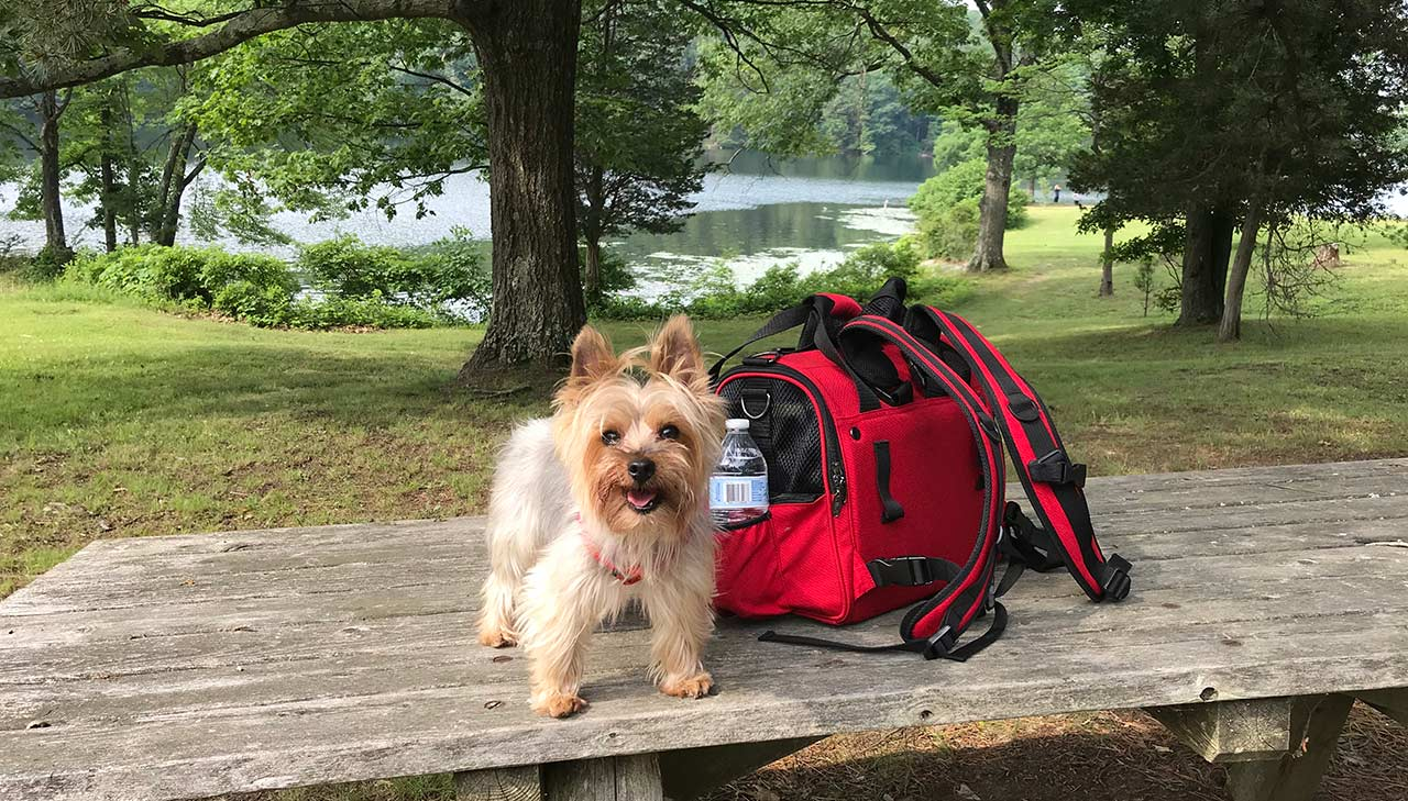 Grasshopper, a 6 lbs. Yorkie, smiling at a camping trip at New York Lake Taghkanic State Park