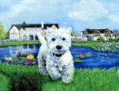 Westie with Pond Card