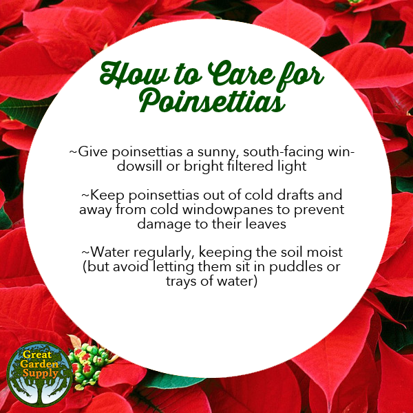 How To Care For Poinsettias Great Garden Supply