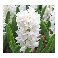 ADR 4 Orientalis Hyacinthus Carnegie Bulbs, Bulb Size 16/17 cm