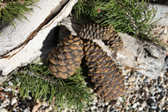 Pinecone Kit
