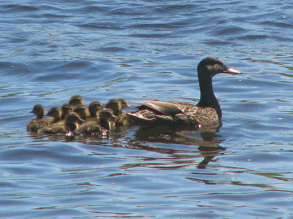 black-duck-female-and-ducklings-1-.jpg