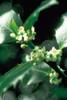 Bach Holly - 1/4oz