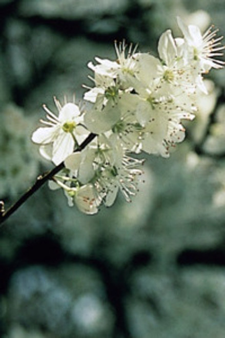 Bach Cherry Plum - 1/4oz