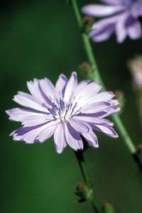 Bach Chicory - 1/4oz