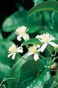 Bach Clematis - 1/4oz