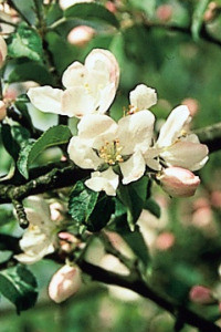 Bach Crab Apple - 1/4oz