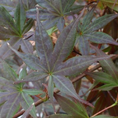 Acer palmatum  'Shojo 1'